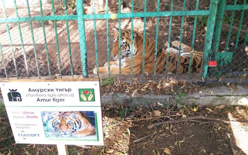 Служителите от Луксофт България с нов приятел – амурския тигър Шели