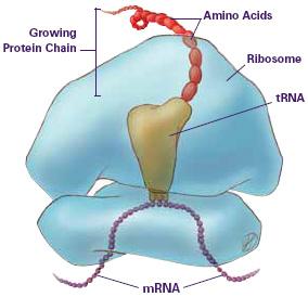 ProteinTranslation